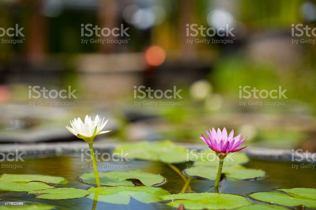 Two Flower lotus lily on the pond with blur background stock photo
