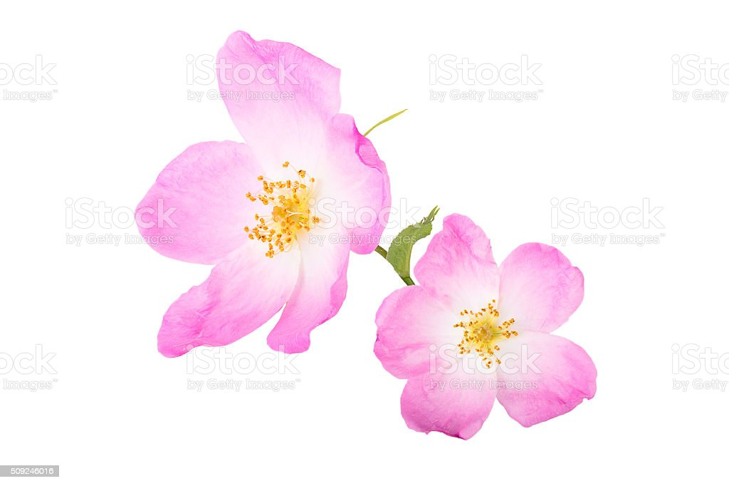 Two flower rose hips isolated on white background stock photo
