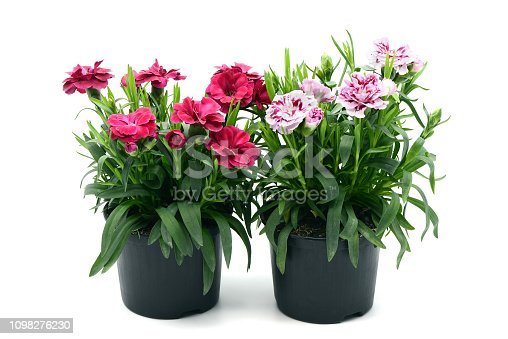two flowerpots of purple pink dianthus flowers. white isolated background