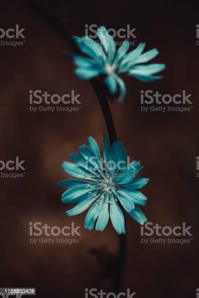 Two flowers of chicory picture id1158850428?b=1&k=6&m=1158850428&s=612x612&h=siurjjyd2gvu0  cedo2leg7azhcorhaiierxzaj0bg=