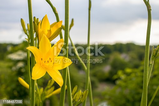 Two flowers of daylily (Hemerocallis ) against the sky and greens. Copy space at right.