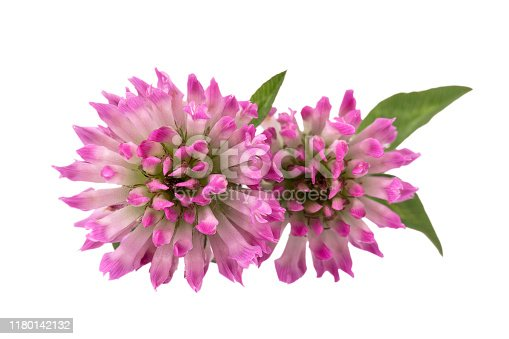 Two flowers of red clover isolated on white background, close up