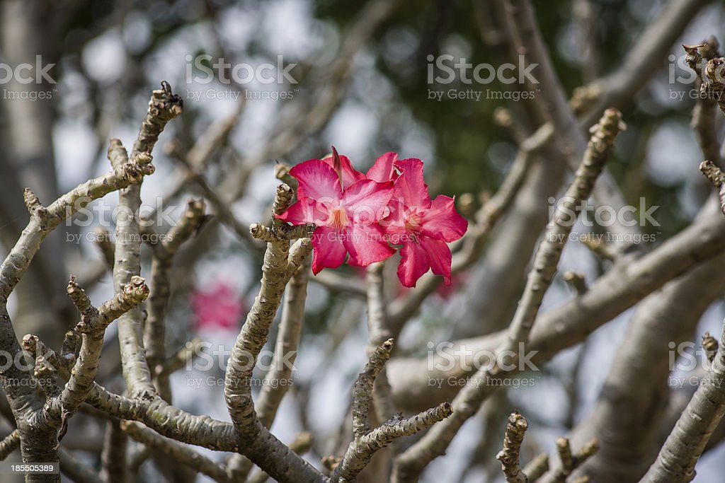 Two Flowers of the Desert Rose stock photo