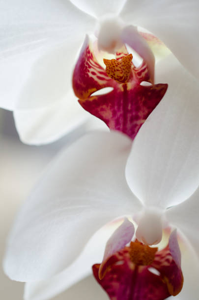 Two flowers of white orchid with red fragments stock photo