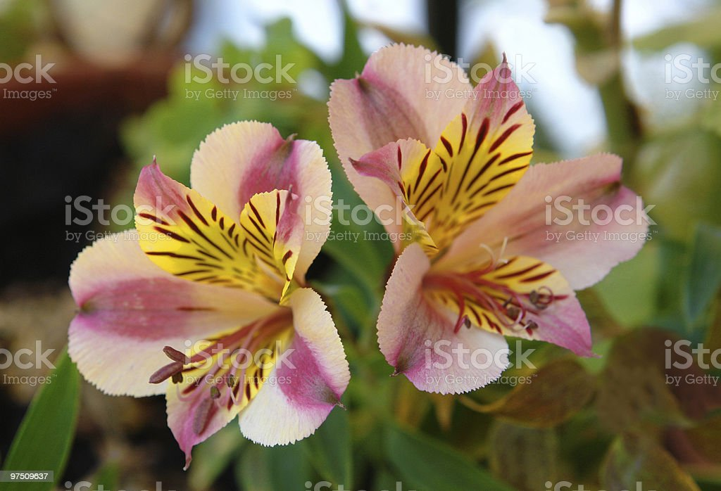 Two flowers royalty-free stock photo