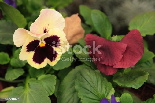 istock Two flowers viola tricolor 155225674