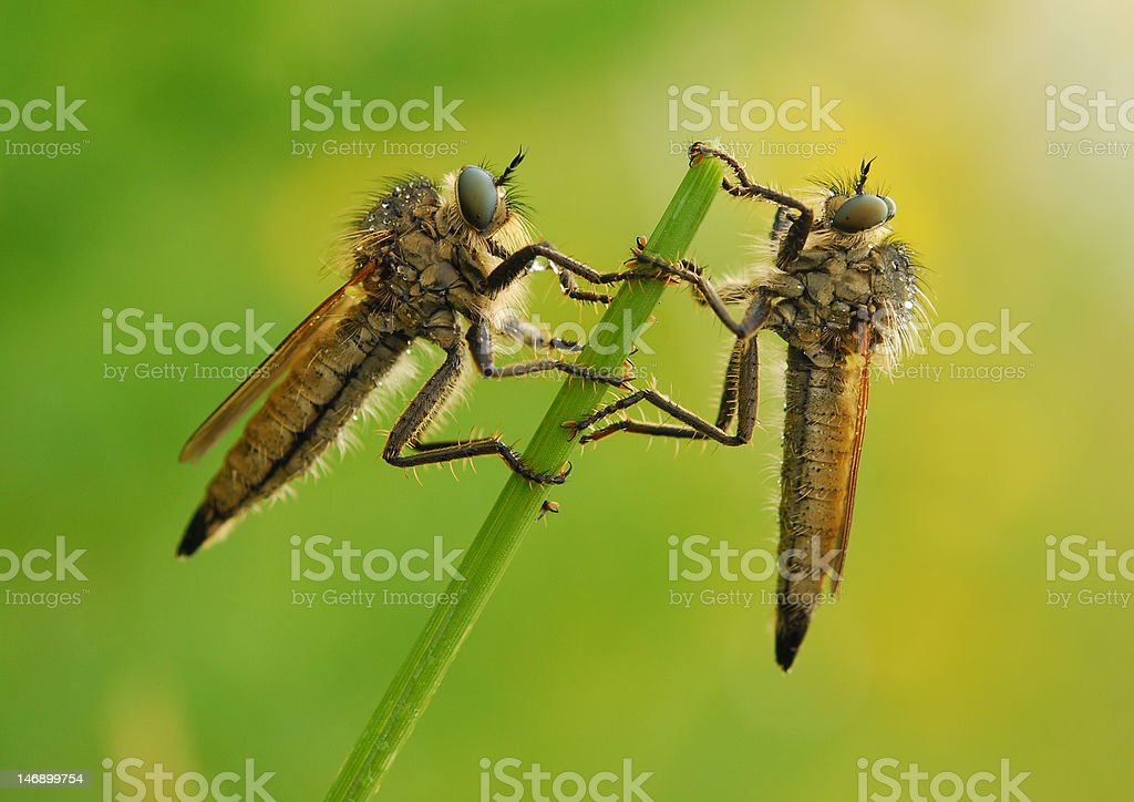 Two fly stock photo