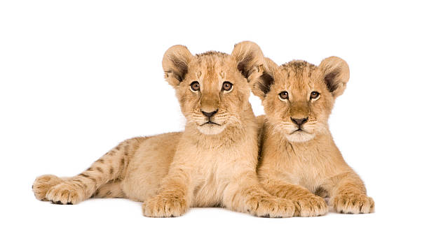 Two four month old lion cubs isolated on white background Lion Cub (4 months) in front of a white background. lion cub stock pictures, royalty-free photos & images