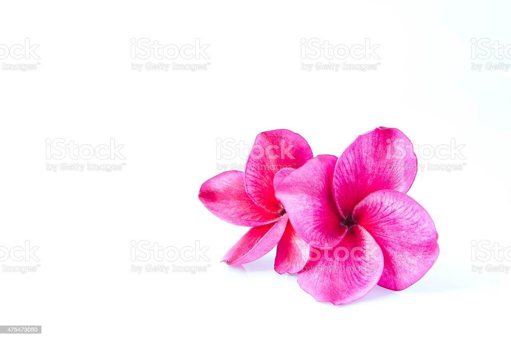 Two frangipani flowers isolated on white stock photo