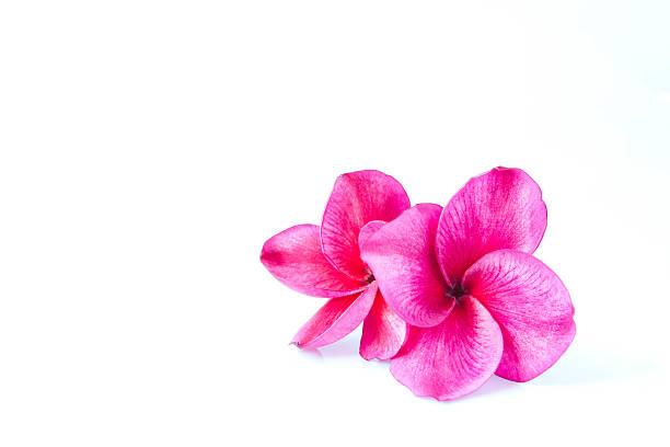Deux fleurs de frangipanier isolé sur blanc - Photo