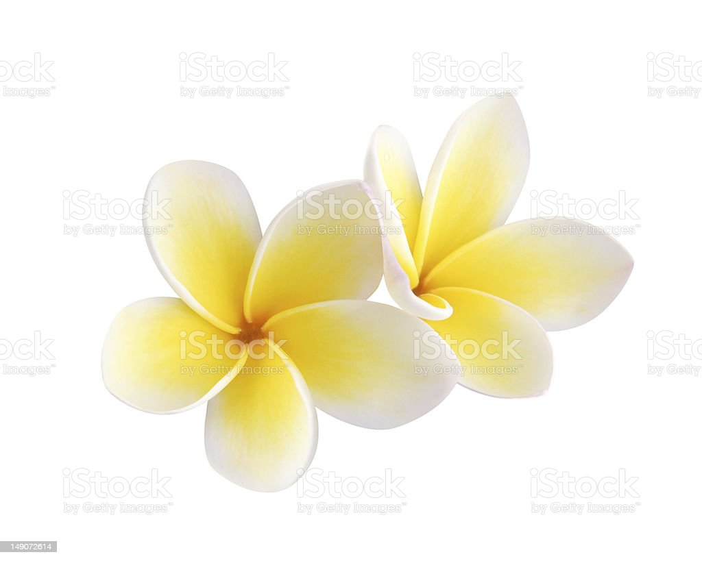 Two frangipani flowers - isolated, path included stock photo
