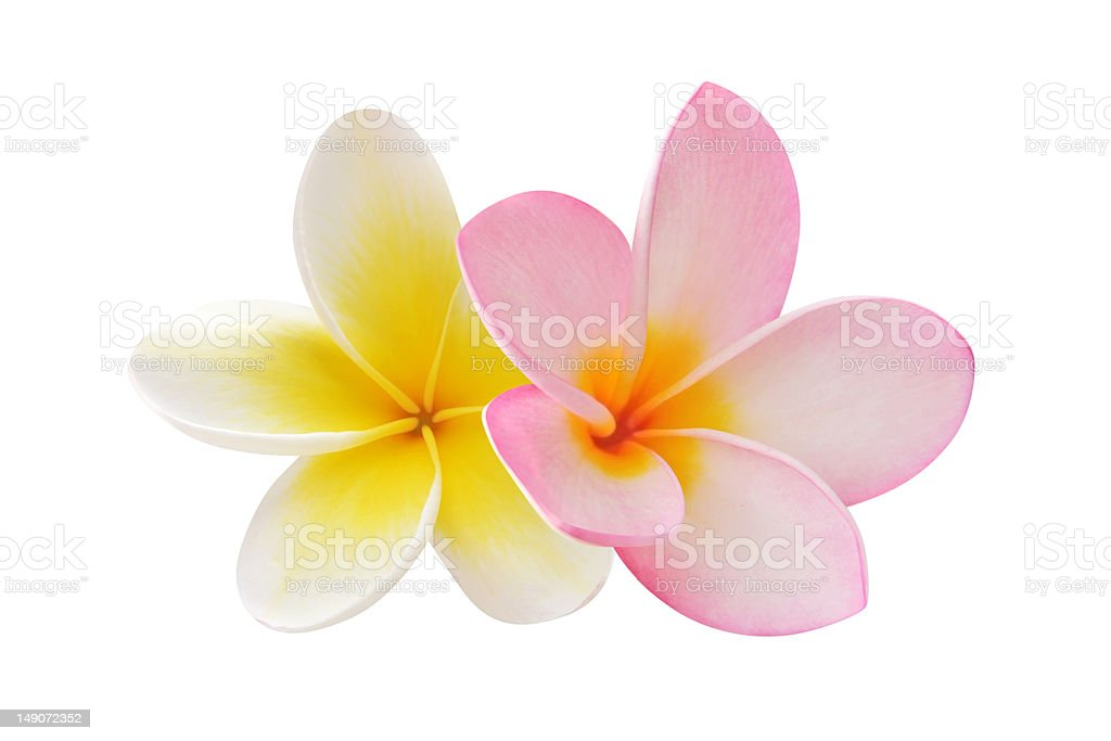 Two frangipani flowers on white background stock photo