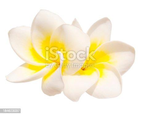 Two frangipani flowers isolated on white background