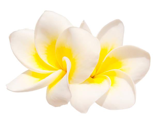 Two frangipani flowers picture id184623037?b=1&k=6&m=184623037&s=612x612&w=0&h=oby1r2nteihk5ffni3hutyaoii1txfni546dtdupuwe=