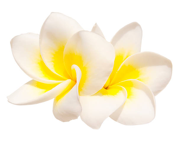 two frangipani flowers - hawaiian flowers stock photos and pictures