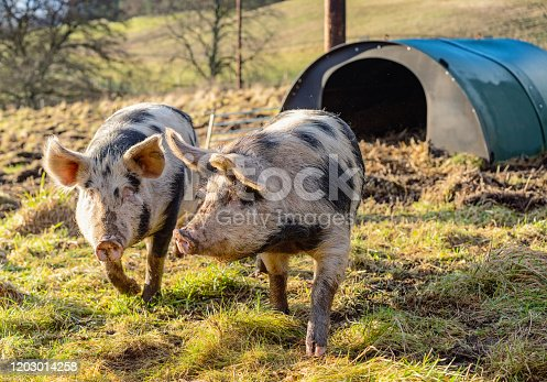 Two free range pigs walking in their field, with their shelter hut in the background.