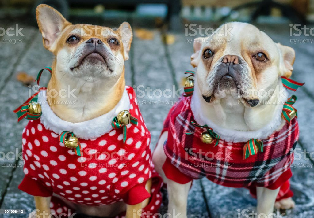 Two French bulldog mixes in costume stock photo