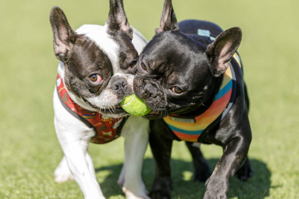Two French Bulldogs fighting over a ball stock photo