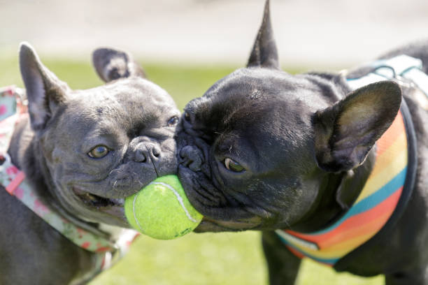 Two French Bulldogs puppies (black and blue) playing with a ball. stock photo