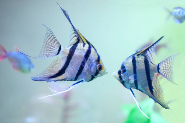 Two fresh water Angel fish - Pterophyllum scalare. Close up. stock photo