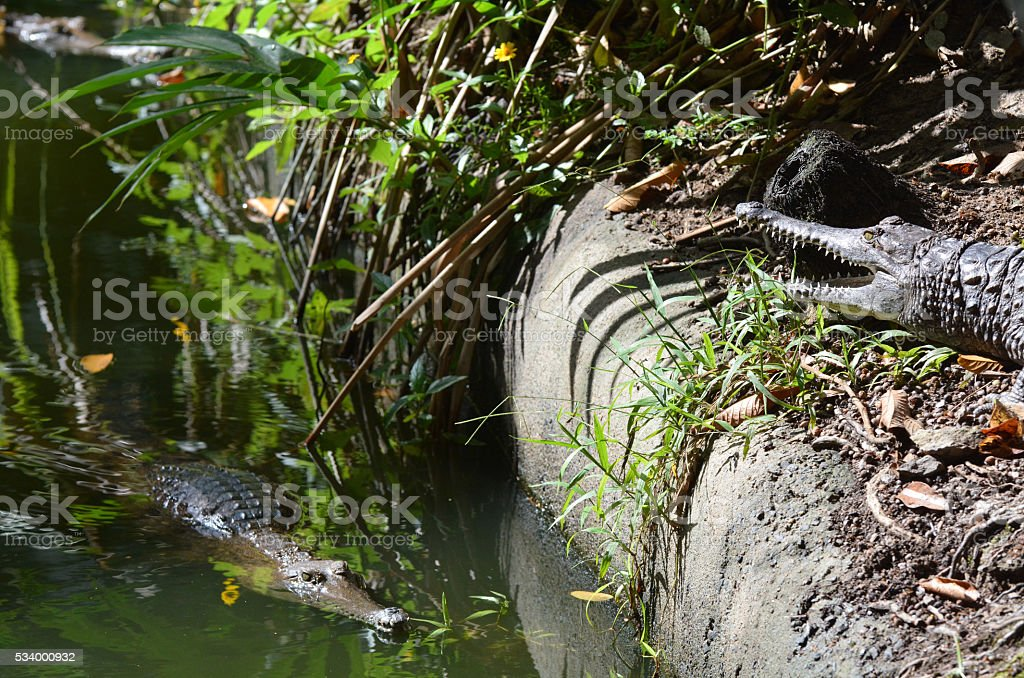 Two freshwater crocodile on a river bank stock photo