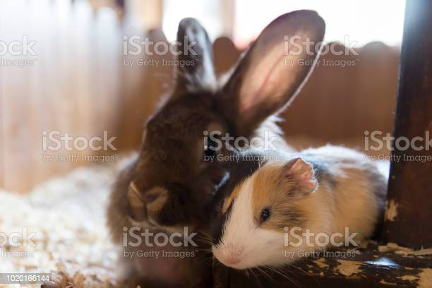 Two friends a guinea pig and a rabbit lie side by side in the house picture id1020166144?b=1&k=6&m=1020166144&s=612x612&h=37vlb4x1nhzxot4433jbxzpa4w 67n2dhzhnxql0xuc=