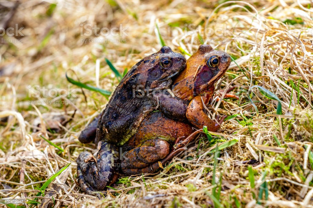 Two frogs breeding stock photo