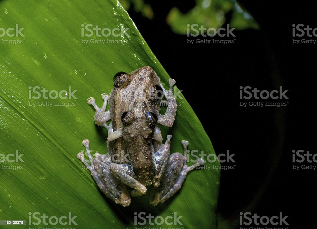 two frogs Ecuador tropical Amazon rainforest treefrog stock photo