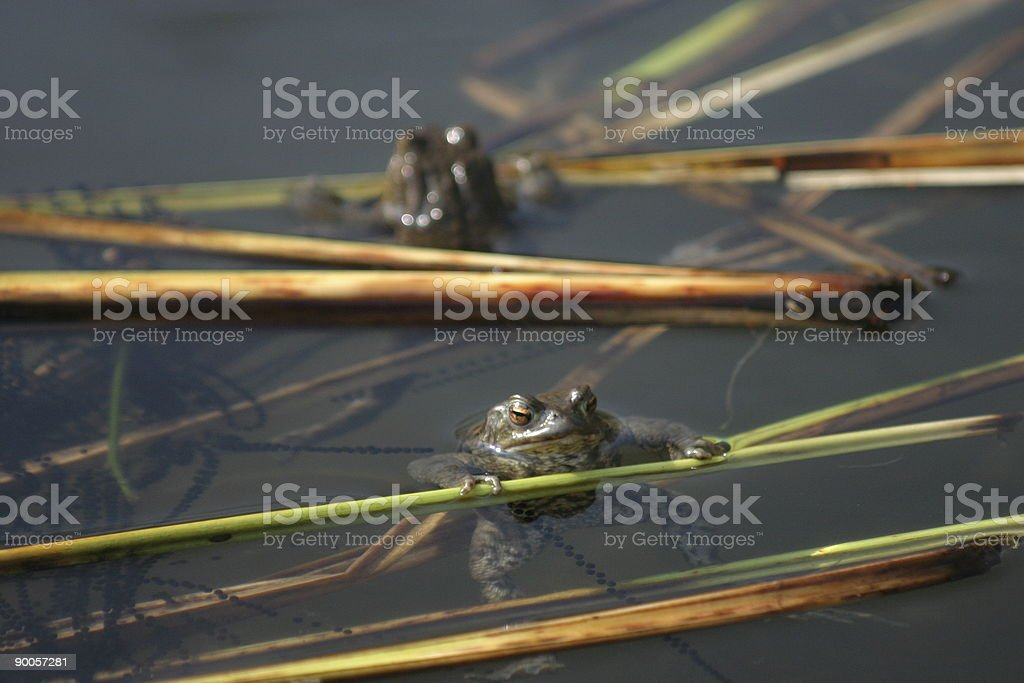 Two frogs in a pond with spawn stock photo