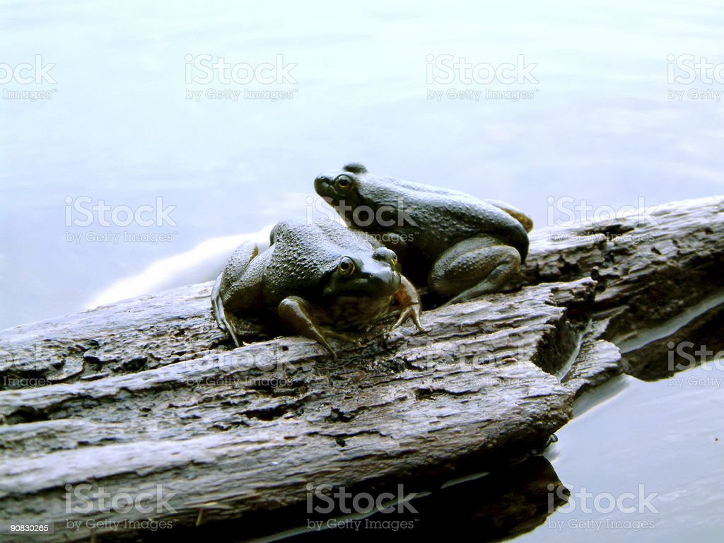 Two frogs on a log stock photo