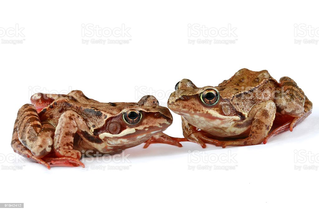 Two frogs royalty-free stock photo