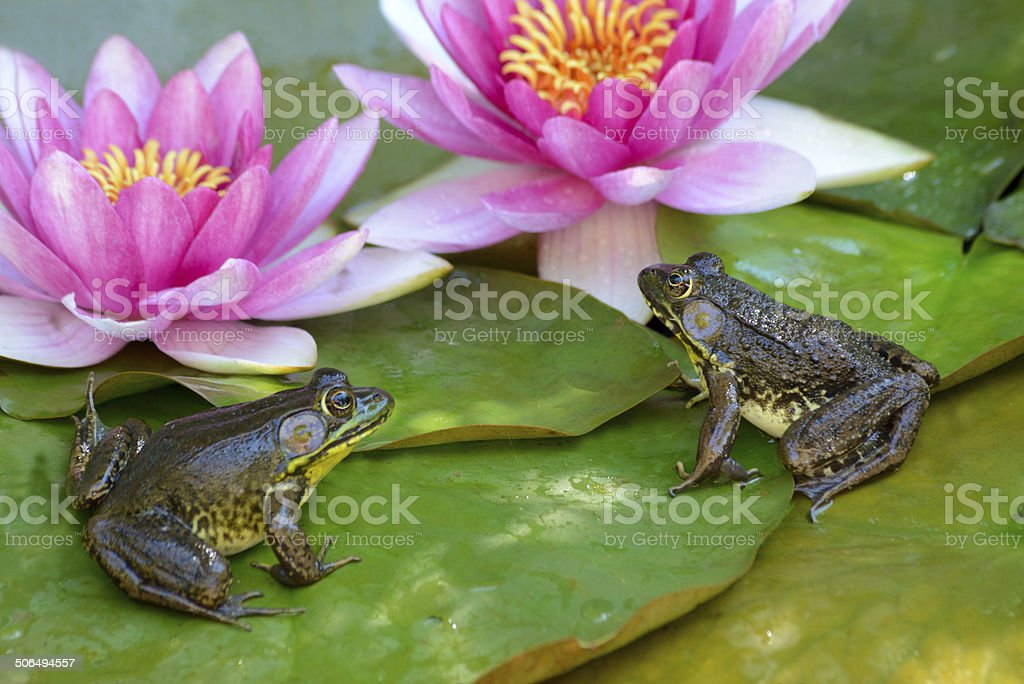 Two Frogs Sit On A Lily Pad Stock Photo Download Image Now Istock