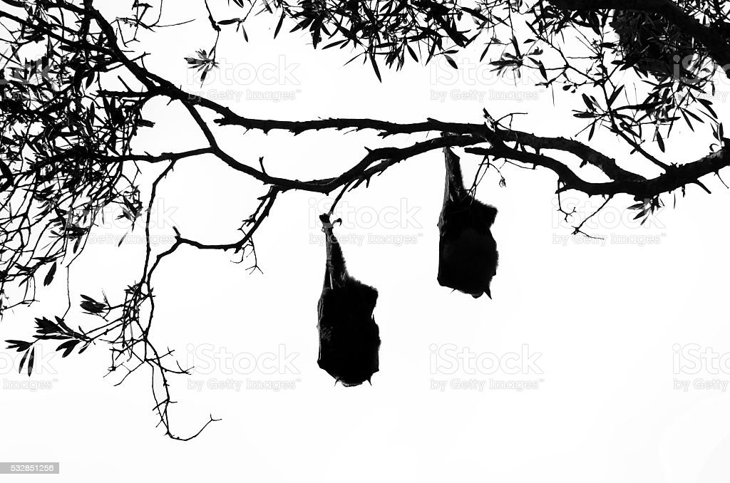 two fruit bats in silhouette hanging from a tree stock photo more