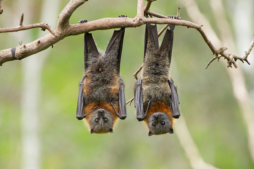 Close up of two fruit bats hanging upside down in a tree. Australia.