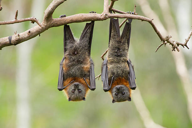 Two Fruit Bats Close up of two fruit bats hanging upside down in a tree. Australia. bat stock pictures, royalty-free photos & images