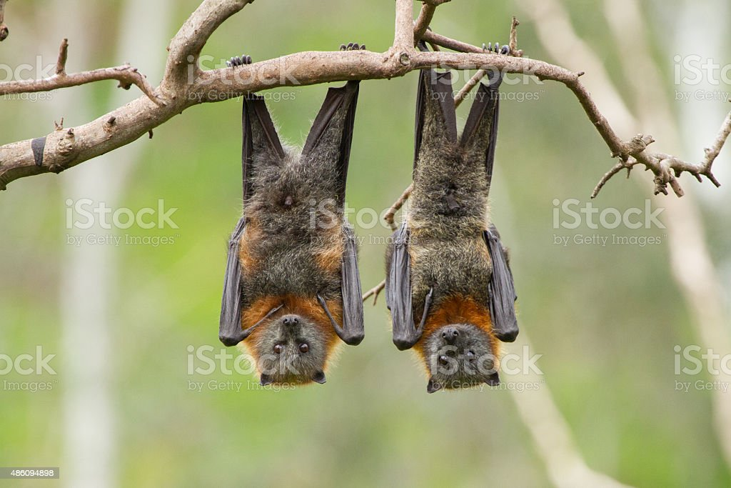 Two Fruit Bats stock photo