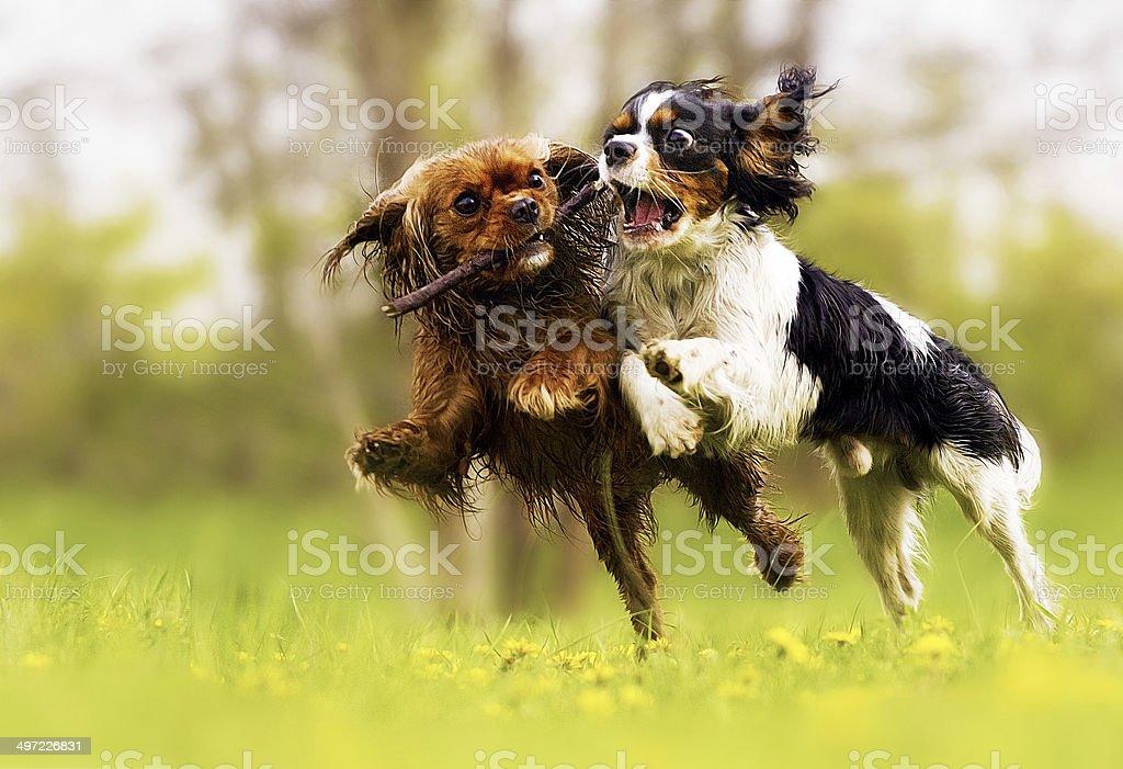 two fun cavalier king charles spaniel dog stock photo