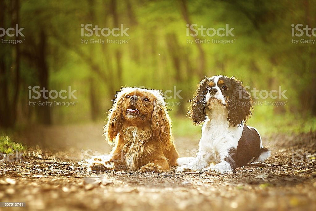 two fun cavalier king charles spaniel dog puppy outdoors stock photo