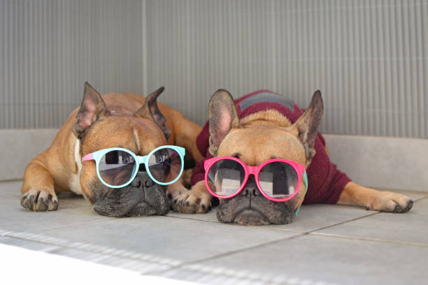Two funny brown small French Bulldog dogs lying relaxed in shade in summer wearing colorful sunglasses for children funny dogs in summer bulldog stock pictures, royalty-free photos & images