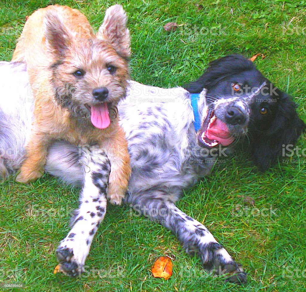 two funny cute dogs looking at the camera stock photo