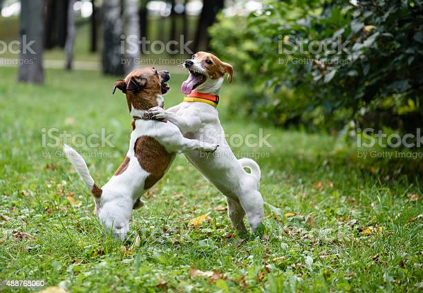 Two funny dogs have fun playing and dancing picture id488768060?b=1&k=6&m=488768060&s=612x612&h=pci5znyivnzyayg6sju79svt3zbf6xdqdybntd2ft3g=