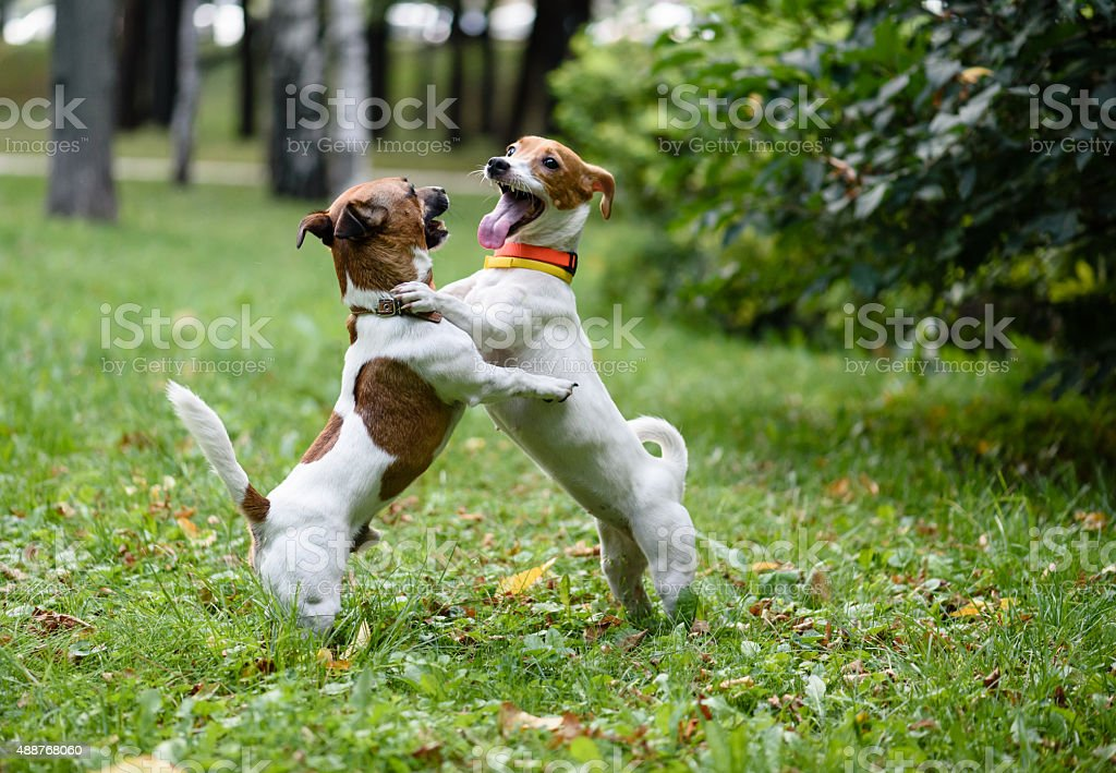 Two funny dogs have fun playing and dancing stock photo