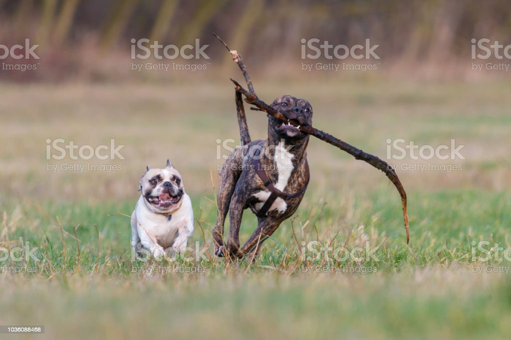 White English Bulldog runs side by side with chocolate brindle...