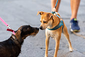 istock Two funny dogs sniffing smelling scent noses in park on leashes looking at each other pedigree street cute 1065175142