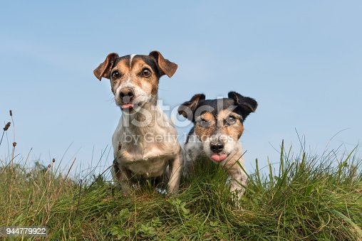 885056264 istock photo Two funny little dogs sit side by side in a meadow against a blue sky and stick out their tongues - cute Jack Russell Terrier 944779922