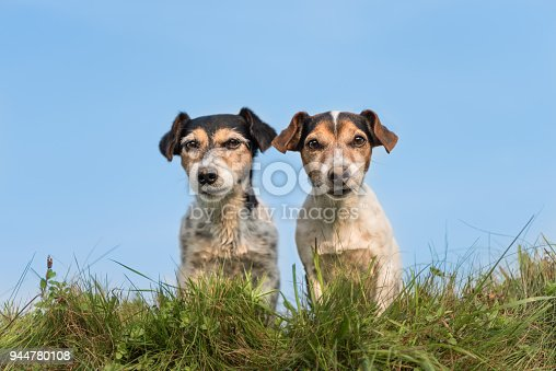 885056264 istock photo Two funny little dogs sitting side by side in a meadow against a blue sky - cute Jack Russell Terrier 944780108