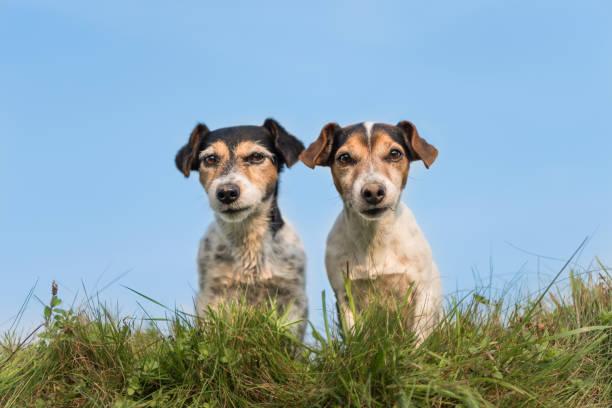 Zwei lustige kleine Hunde sitzen nebeneinander auf einer Wiese vor blauem Himmel - süße Jack Russell Terrier – Foto