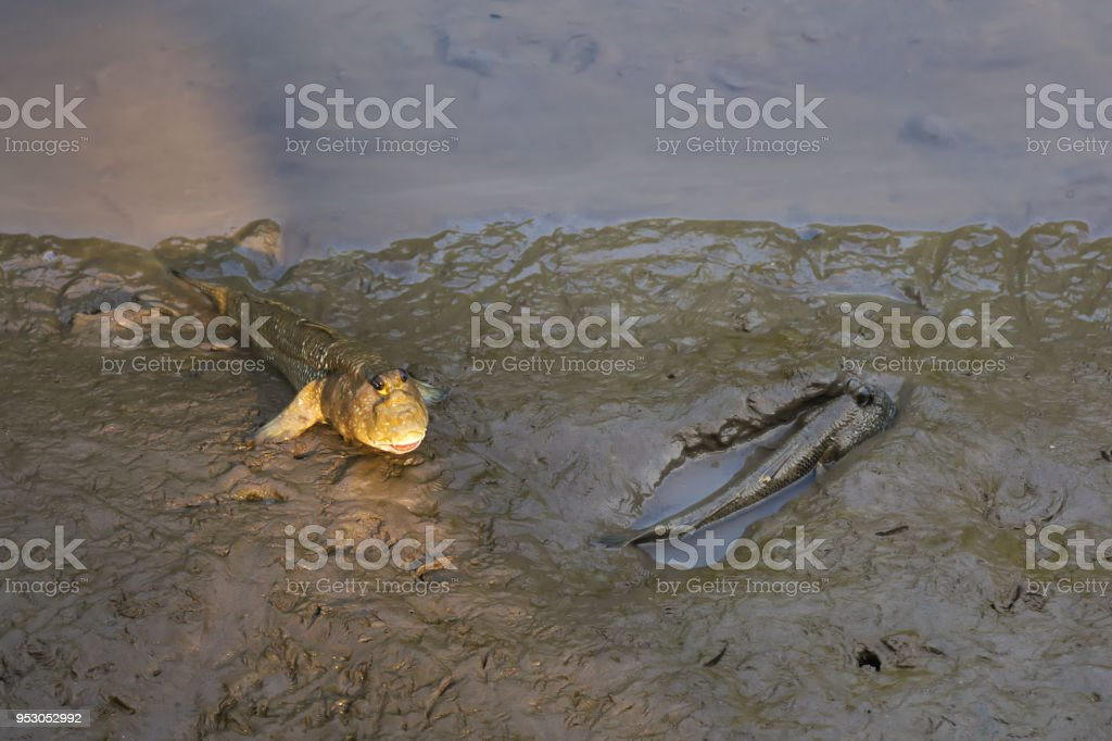 Two funny looking, lovely, Thai walking fish, with human-like face, found in a river delta mangrove forest's sandy banks. stock photo