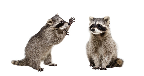 Two funny raccoons, isolated on white background, studio shot