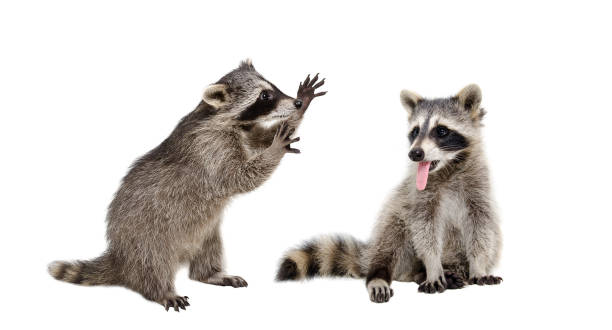 Two funny raccoons sitting together isolated on white background picture id1098182364?b=1&k=6&m=1098182364&s=612x612&w=0&h=gmvnjc3jf 0myiisktpjm iiyxldkd7eillyvt0 ukm=